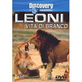Leoni, vita di branco